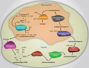heme biosynthesis